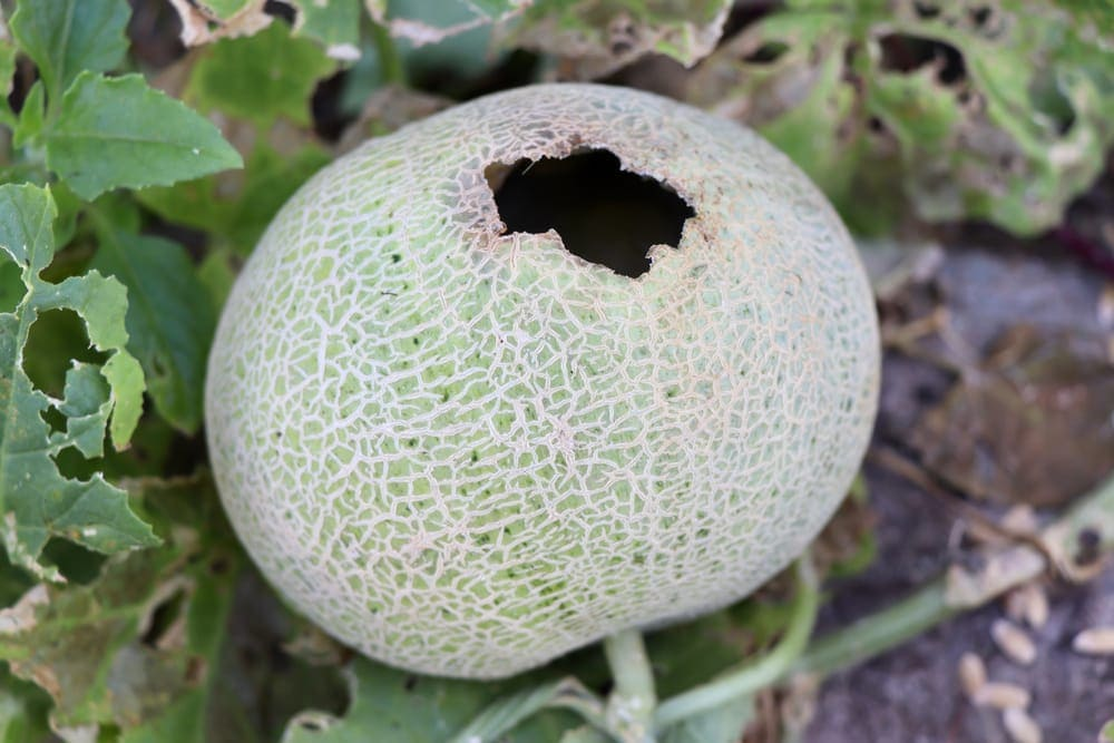 cantaloupes rotten fruit because a rat