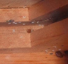 bed bugs on a wooden bed frame