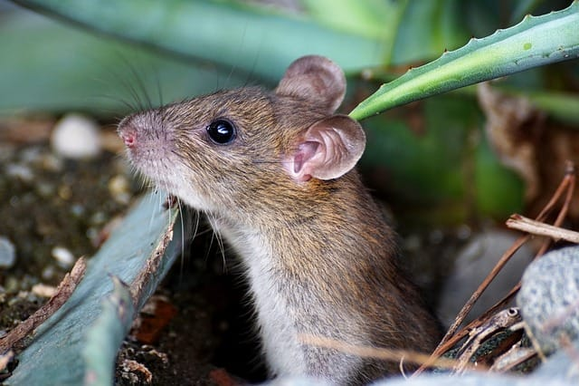 mice can get inside your home via AC unit