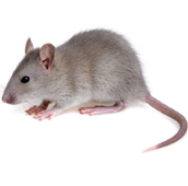 rat control Toronto