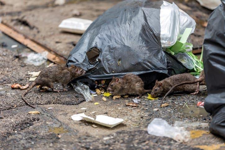 Rat Poop